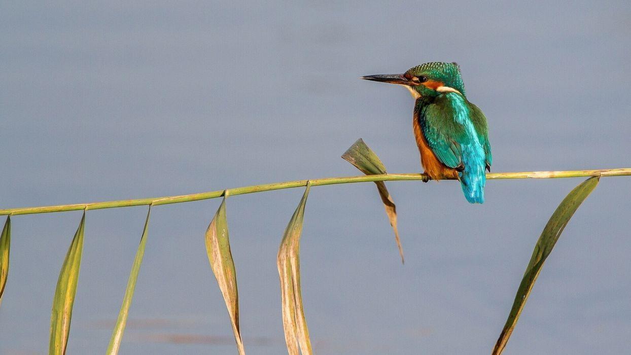 kingfisher bird cane wallpaper