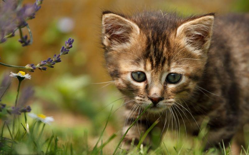 kitten baby flowers wallpaper
