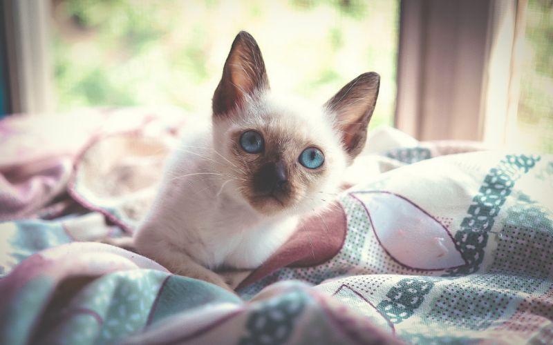 kitten blue eyes wallpaper