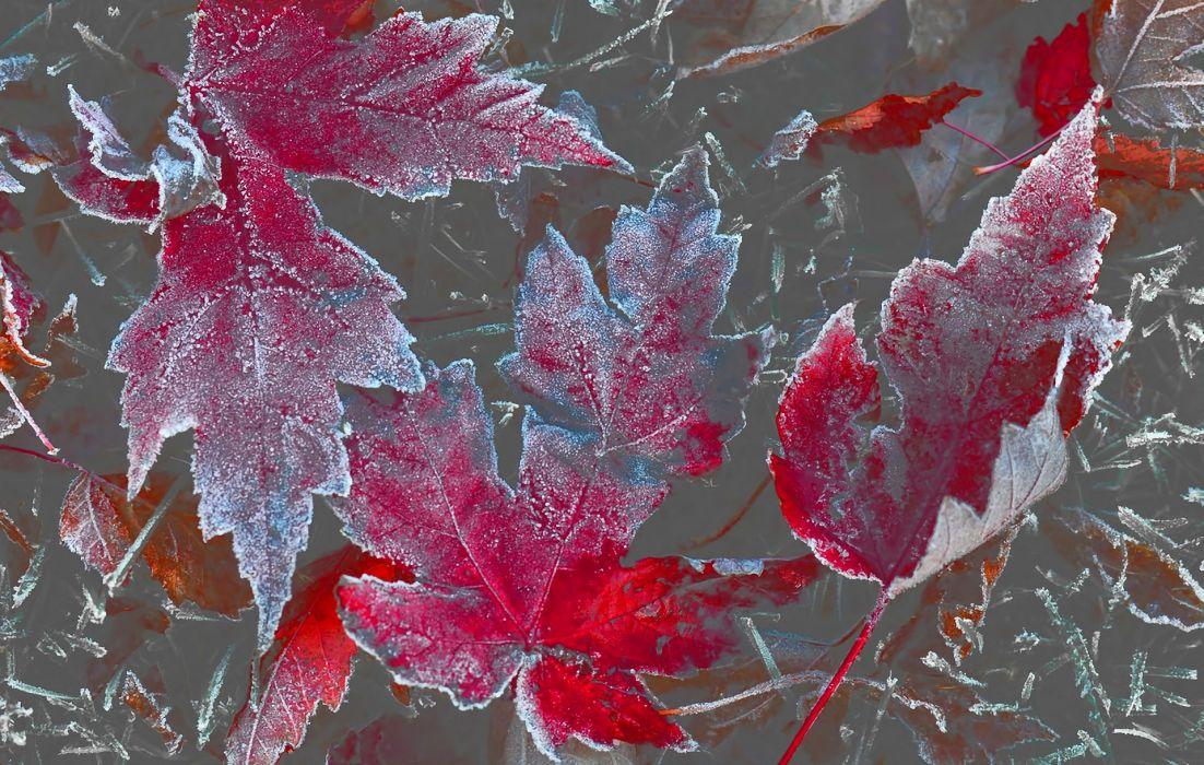 leaves autumn maple rime wallpaper