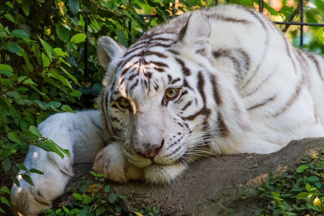 white tige wallpaper