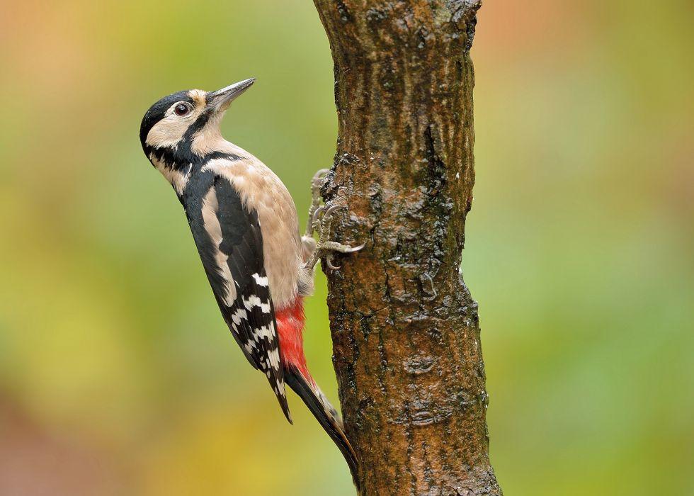 woodpecker bird tree trunk wallpaper