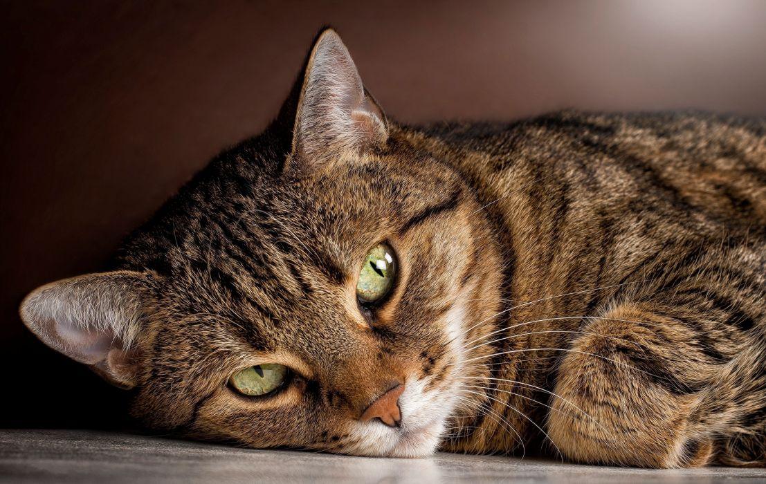 cat looking male tabby wallpaper