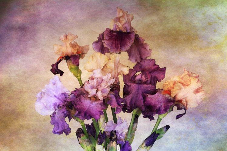 flowers drawing irises paint wallpaper