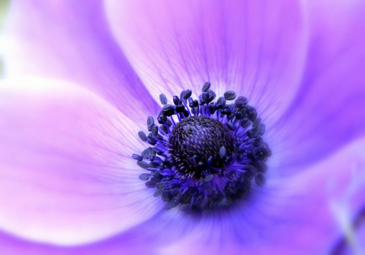 anemone lilac flower petals soft close-up focus wallpaper