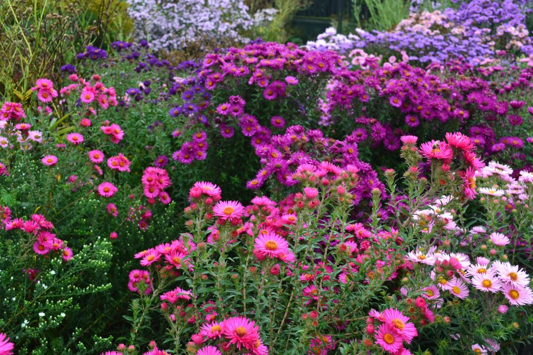 Asters Many Flowers wallpaper