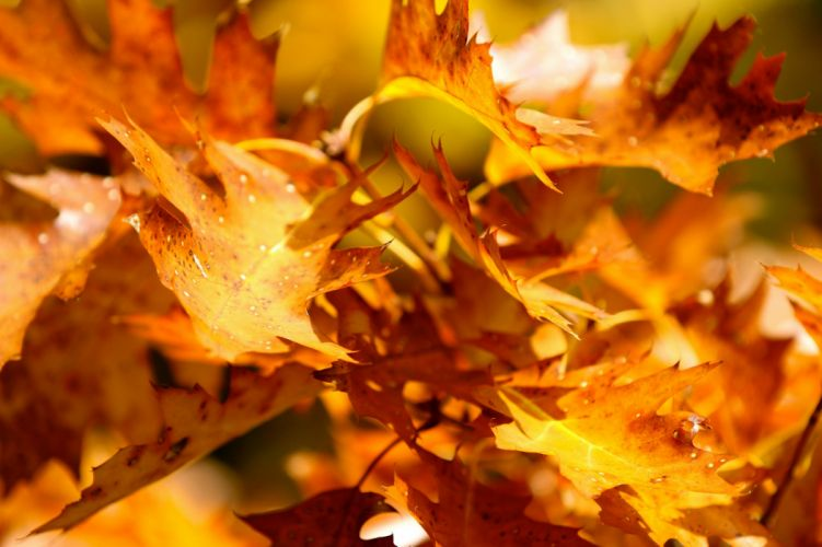 autumn leaves yellow close up wallpaper