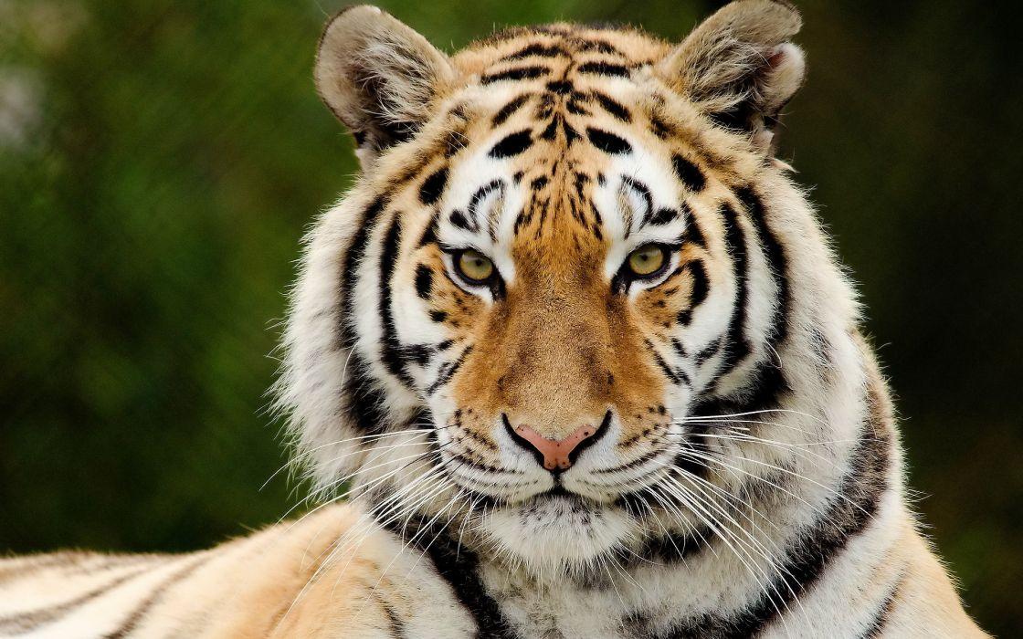 Big cats Tiger Snout Glance Animals wallpaper