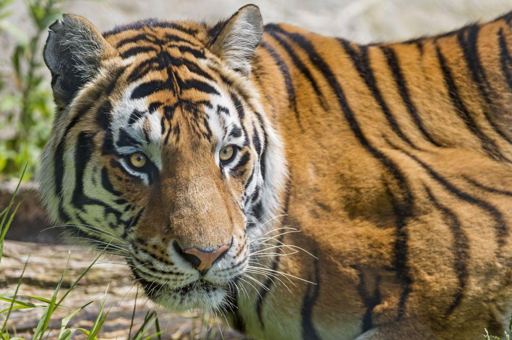 Big cats Tiger Glance Animals wallpaper