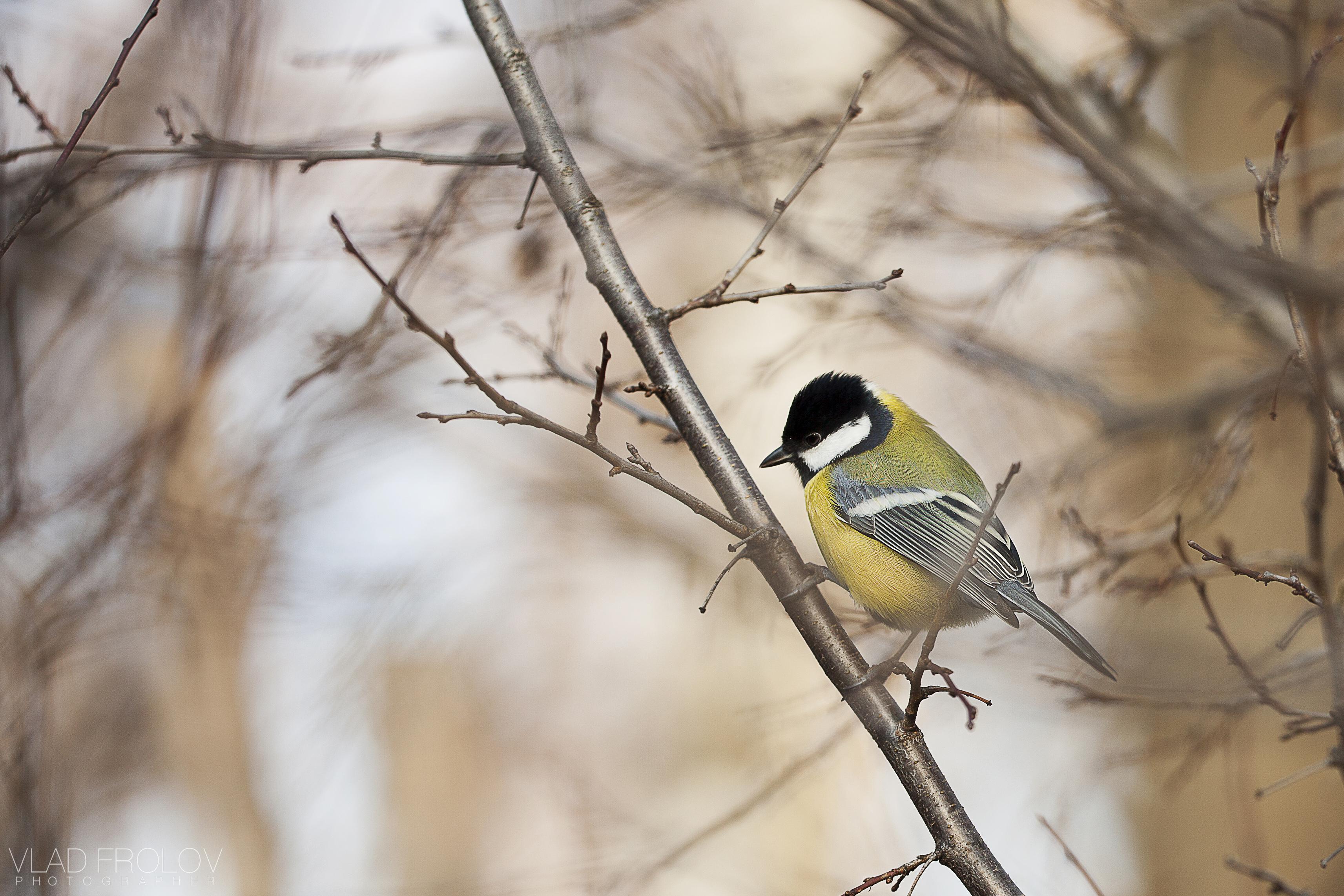Bird titmouse wallpaper | 3425x2283 | 174859 | WallpaperUP