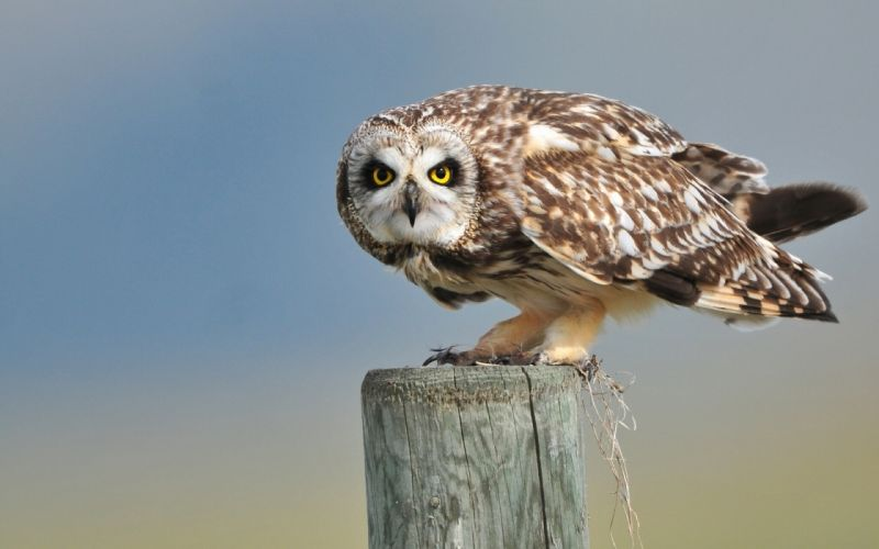 Birds Owls Animals wallpaper