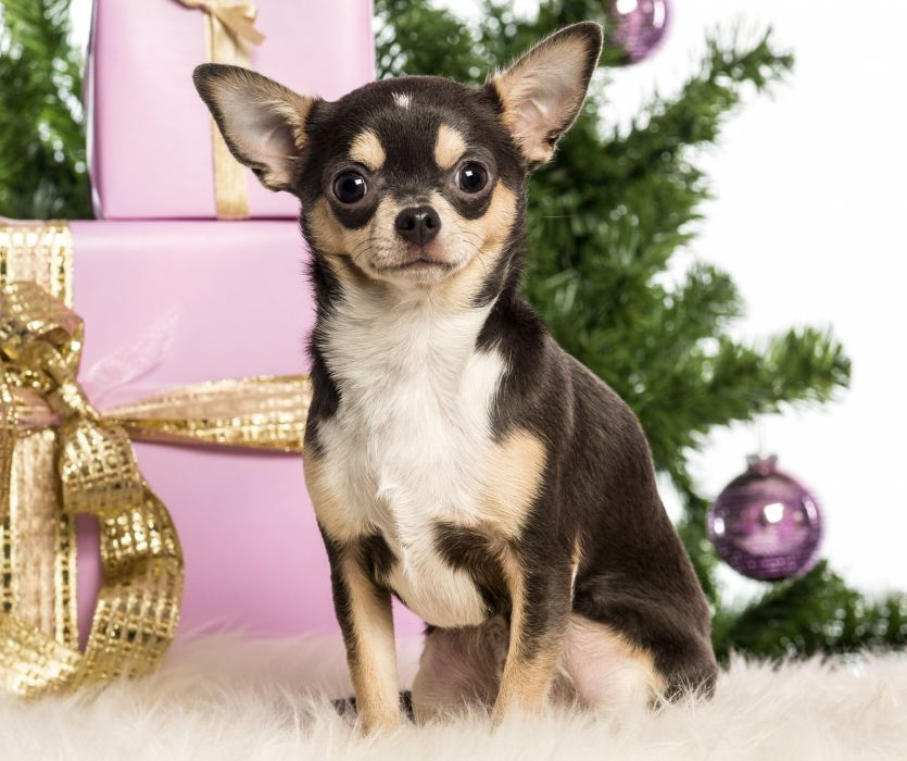 Chihuahua New Year boxes gifts Christmas wallpaper