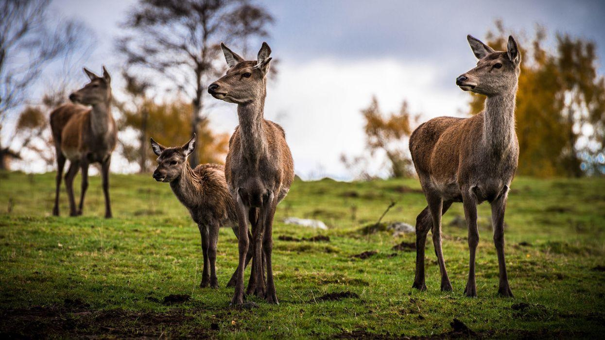 Deer Grass wallpaper