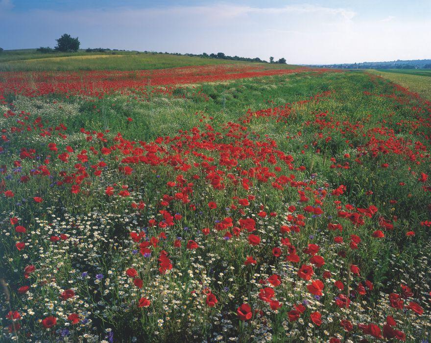 field flowers poppies landscape wallpaper