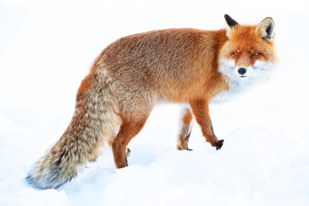 Fox winter snow wallpaper