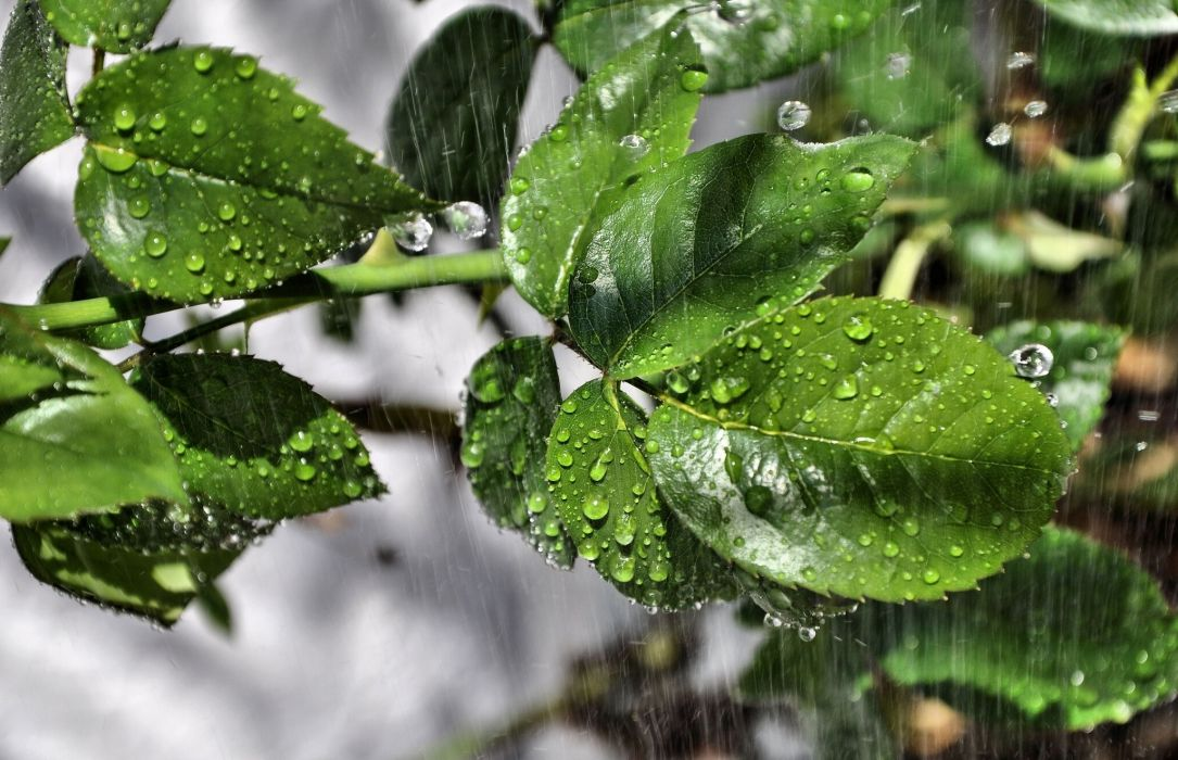 leaves rain drops macro wallpaper
