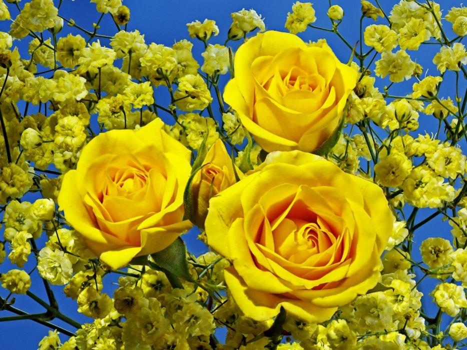 Roses Closeup Yellow Flowers wallpaper