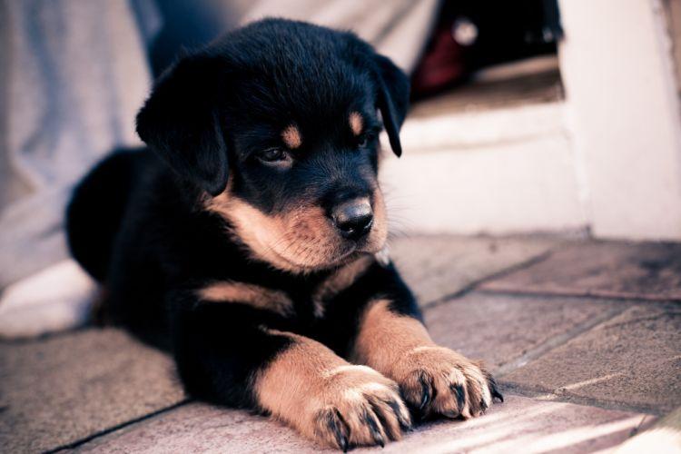 Rottweiler Puppy Paws Animals wallpaper