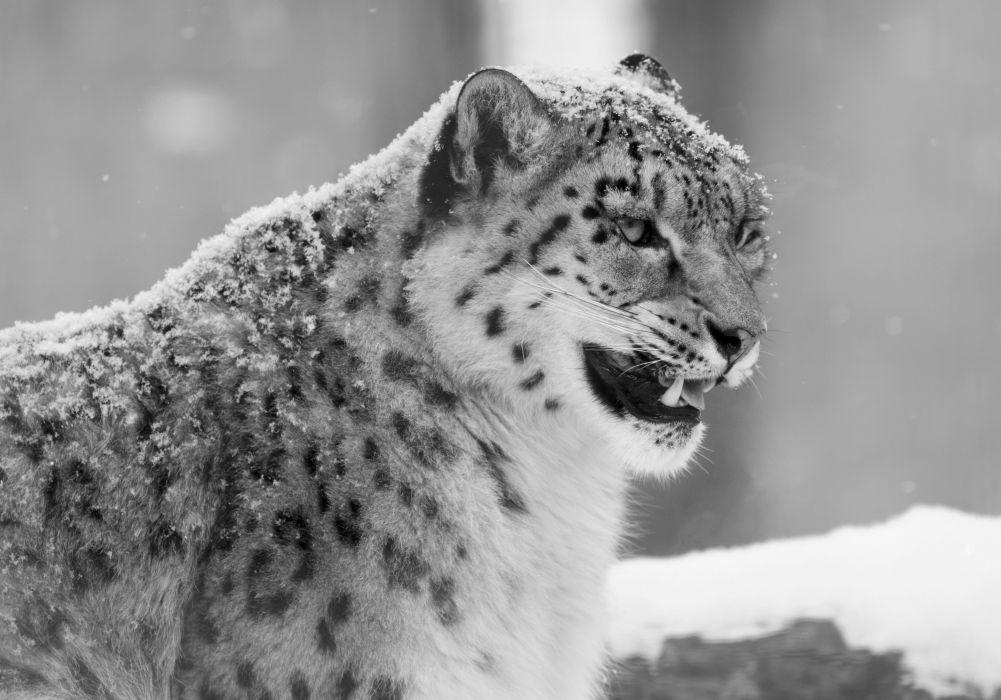 snow leopard winter     g wallpaper