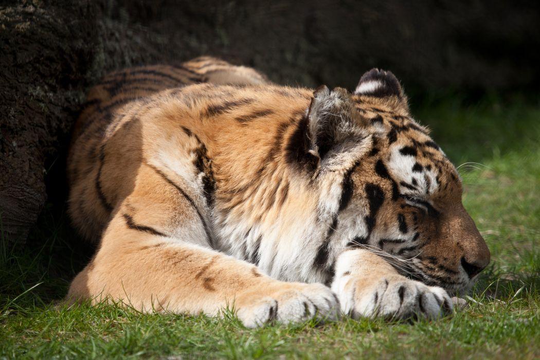 Big cats Tigers Sleep Grass Paws Animals wallpaper