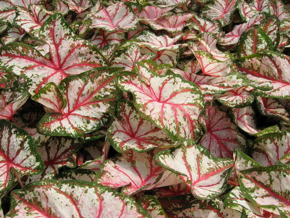 Caladium Many Flowers wallpaper