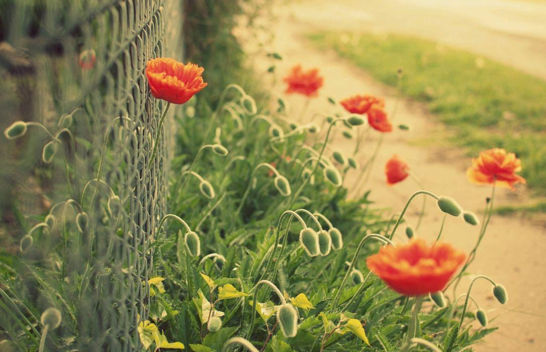 flowers flower poppy red green mesh fence bokeh      f wallpaper