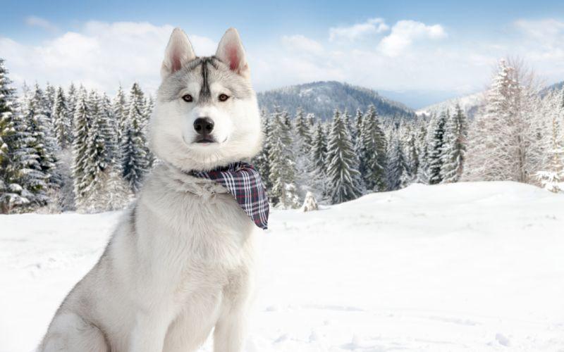 nature winter snow dogs wallpaper