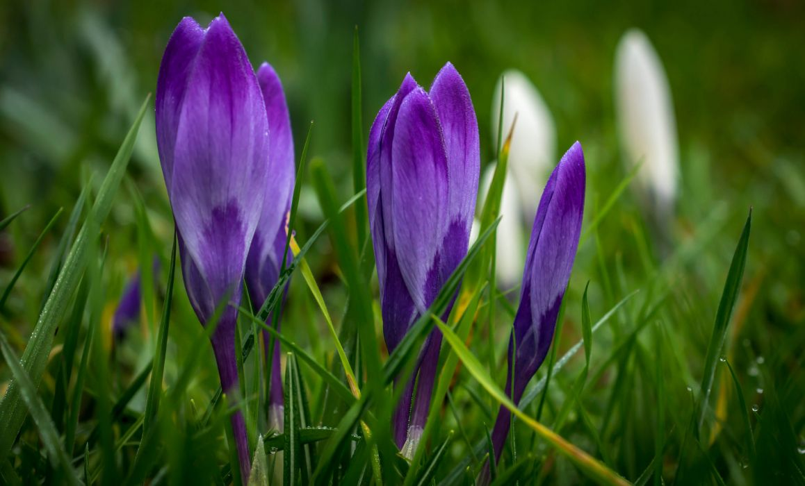 purple crocuses spring flowers wallpaper