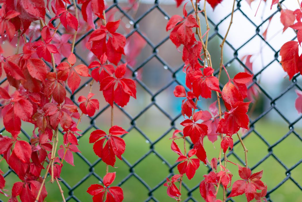 Red leaves twigs ivy drops fence bokeh autumn     f wallpaper