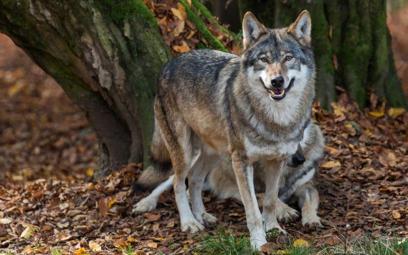 wolves predators nurses autumn wolf wallpaper