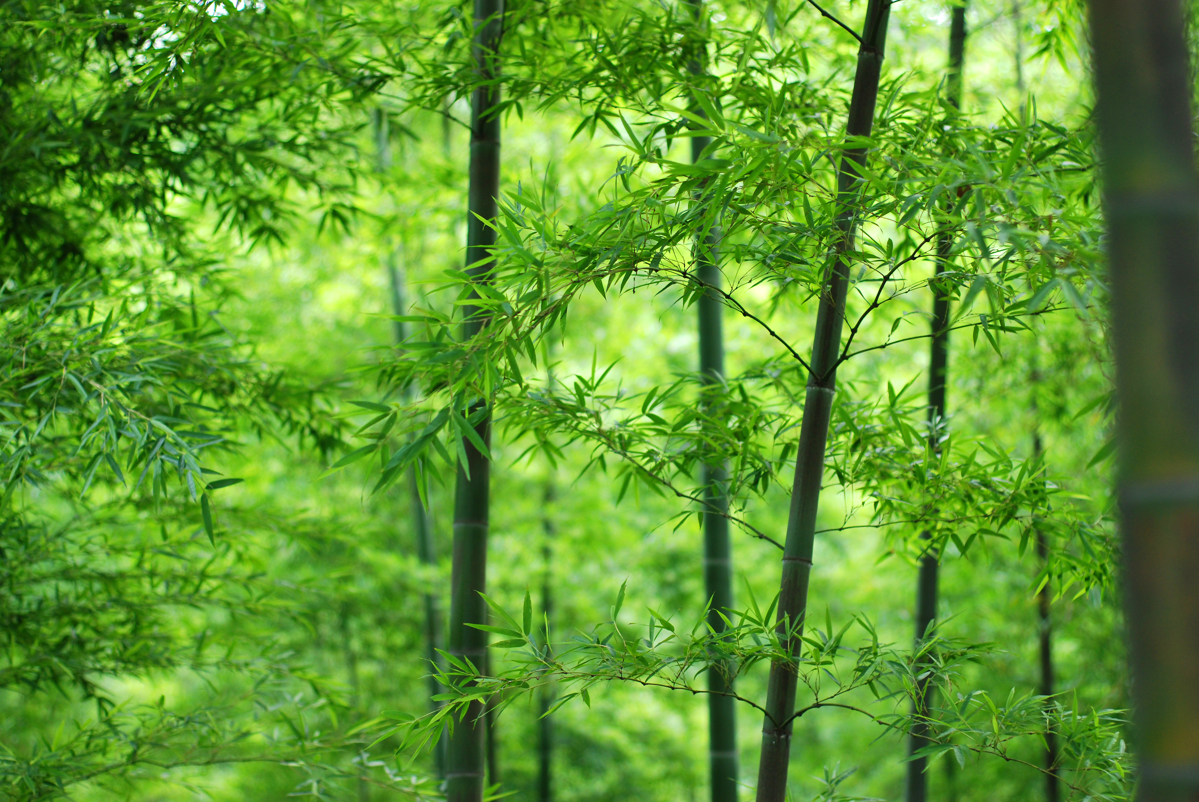 Wood Stem Leaves Bamboo Wallpaper