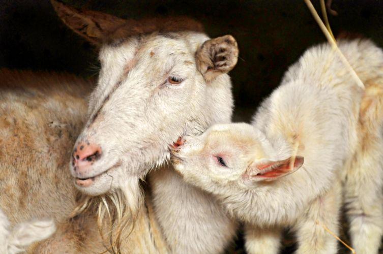 baby love lamb sheep goat wallpaper