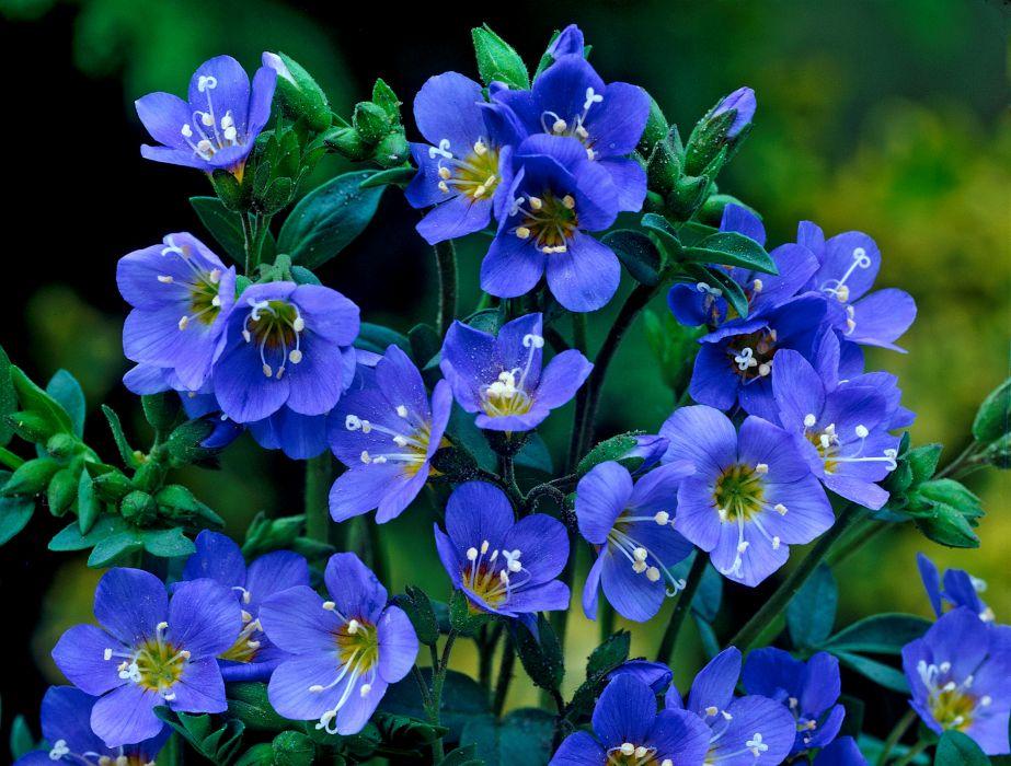flower blue     f wallpaper