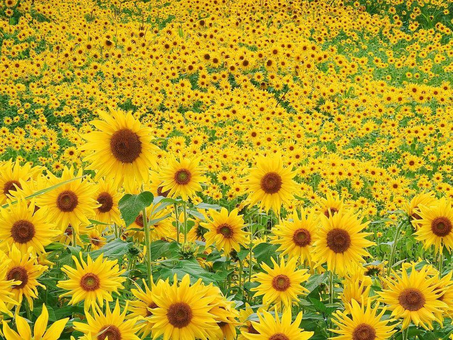Flower Garden sunflower f wallpaper