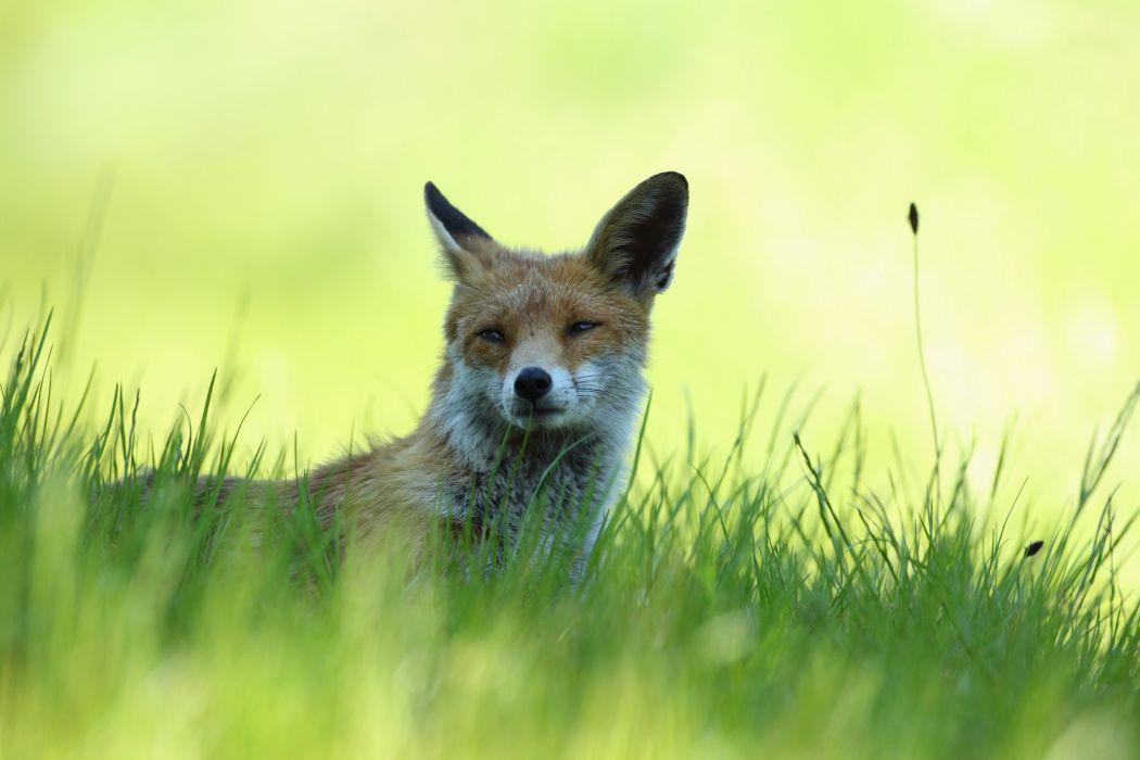 grass fox red shadow wallpaper