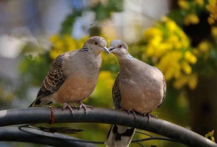 birds turtle dove wallpaper