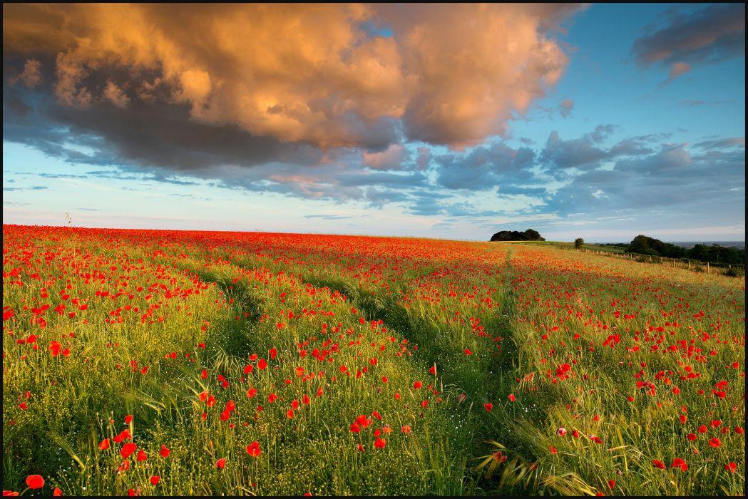 field  poppies  cloud  evening wallpaper
