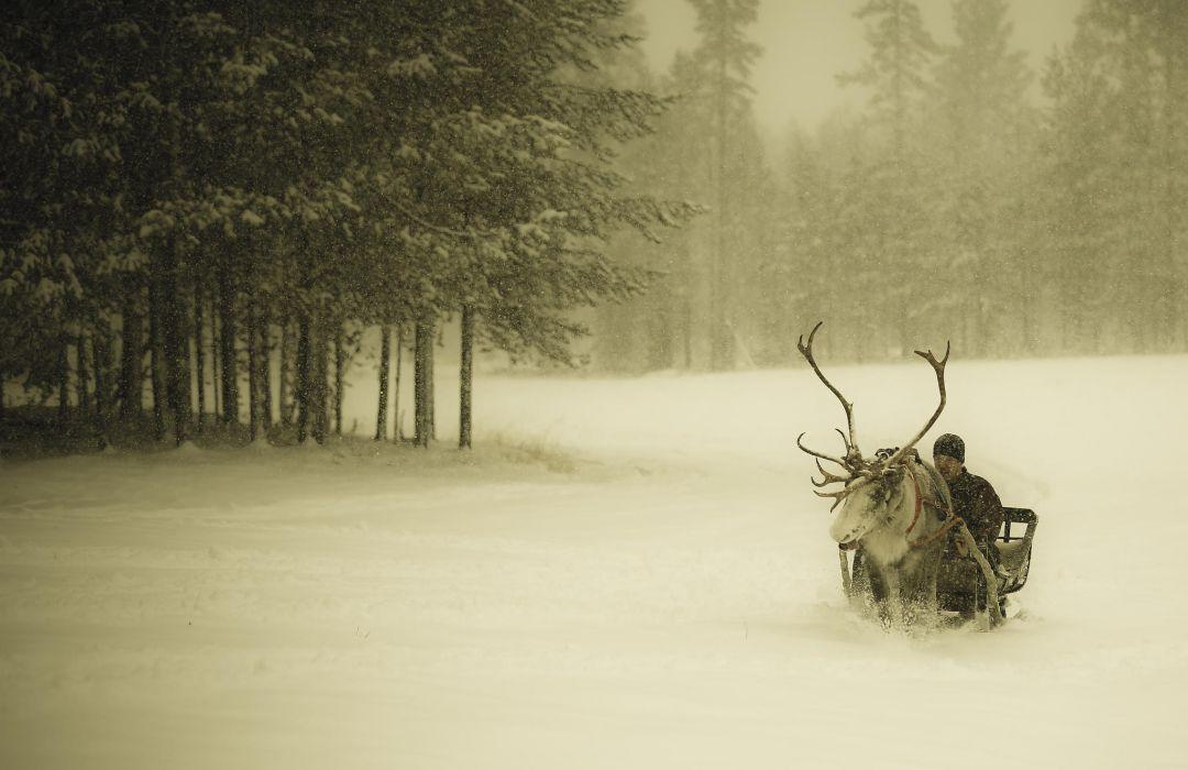 Winter snow snow forest man sleigh reindeer Finland christmas wallpaper