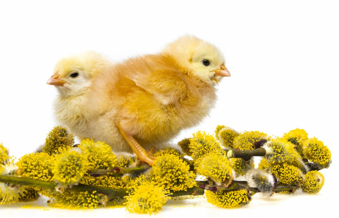 Birds Chicken wallpaper