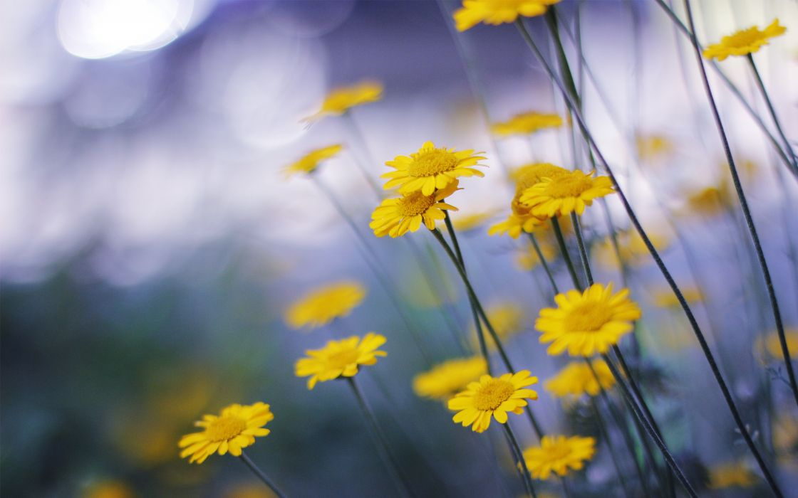 daisies yellow macro flowers nature bokeh wallpaper