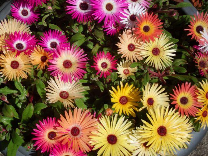 Mesembryanthemum Flowers wallpaper