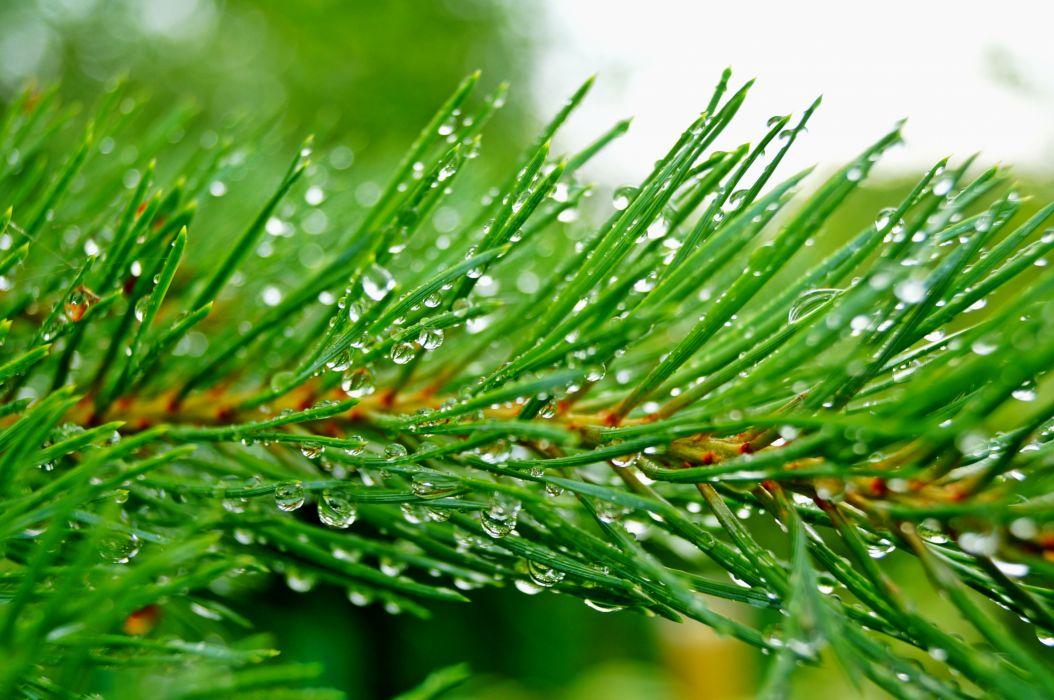 Pine  branch  needles  drops  rain  green wallpaper