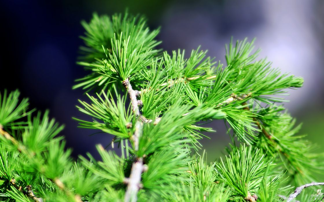 pine spruce macro       d wallpaper