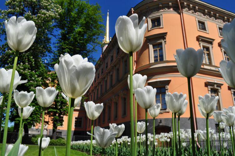 tulips green building wallpaper