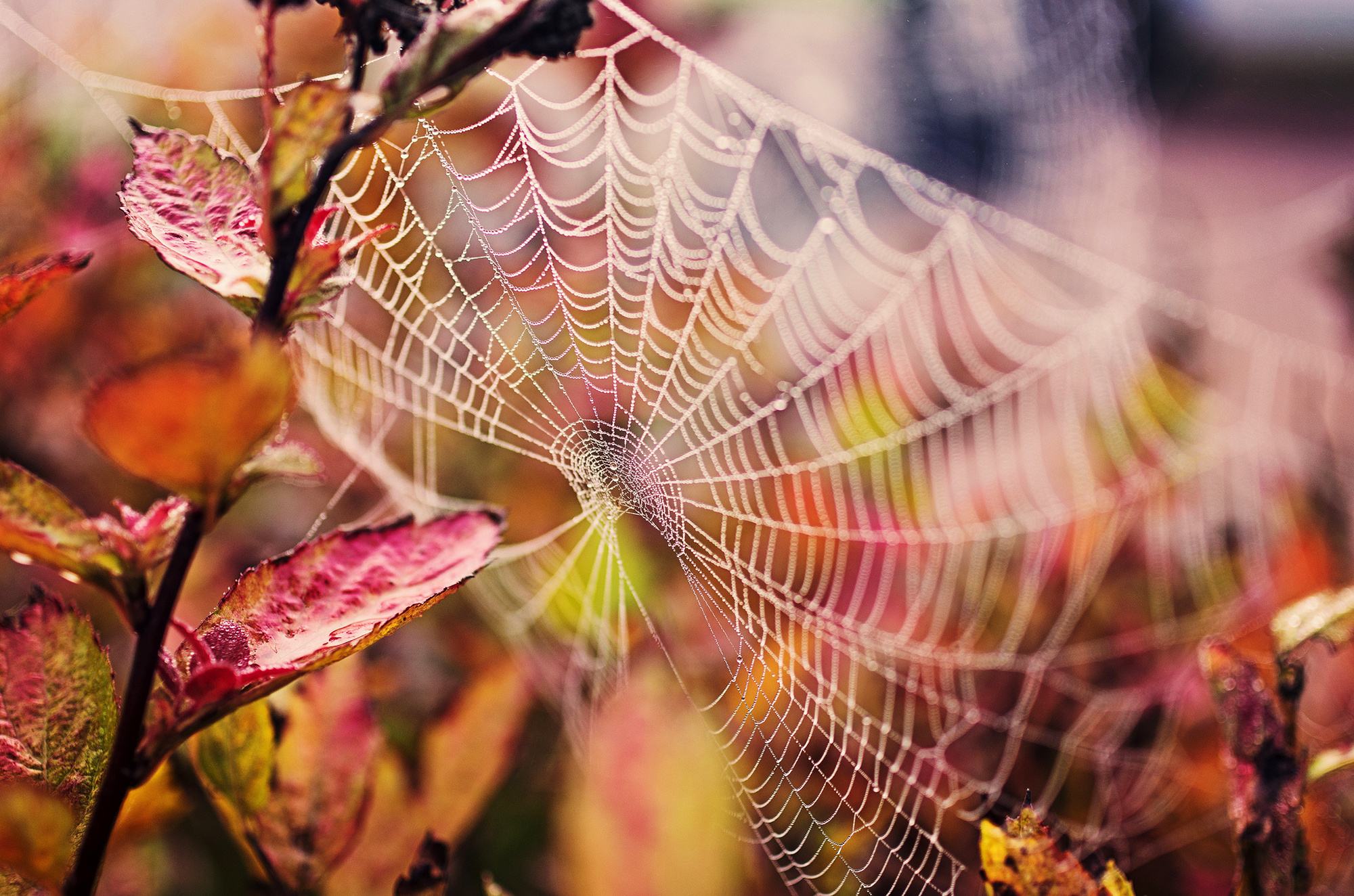 Messages >> Web nature drops branch leaves spider spiderweb wallpaper | 2000x1324 | 177948 | WallpaperUP
