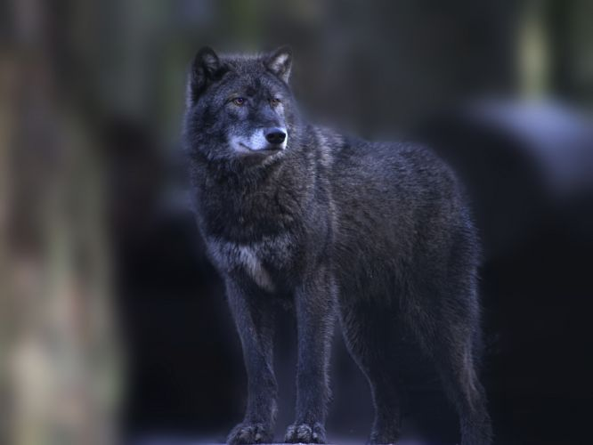 wolf gray stands smotirt wallpaper