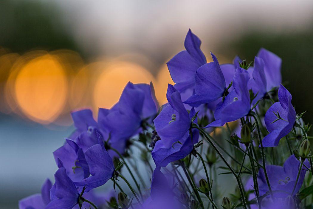 Bells blue flowers petals glare focus macro motion blur bokeh    g wallpaper