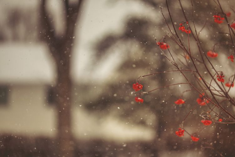 berries red tree branch rowan bokeh rain drops f wallpaper