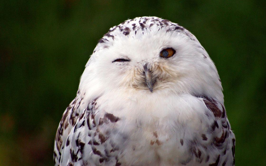 Birds Owl wallpaper