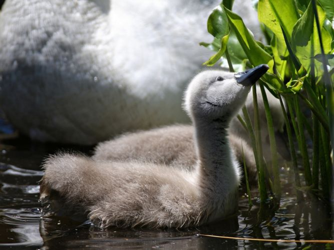 Birds Swans Animals wallpaper